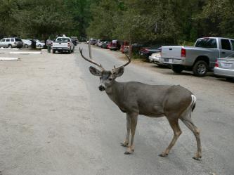 鹿 公園内を普通に歩いています